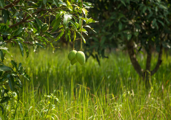 Mango tree. Some fruits of the mango tree hanging over the green grass. Garden in Thai village.