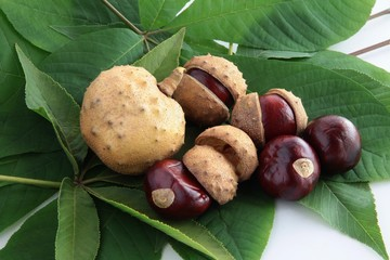 fruits and seeds of horse chestnut tree