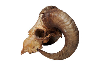 Old ram skull isolated on the white background