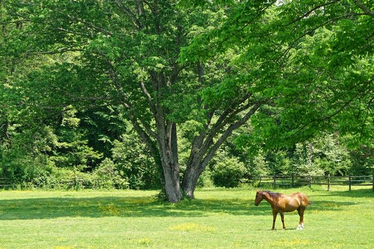 Westchester, New York, USA: A solitary chestnut horse standing in the grassy field of a small farm on a bright sunny summer day.