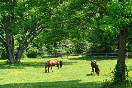Westchester, New York, USA: A pair of chestnut horse grazing in the grassy field of a small farm on a bright sunny summer day.