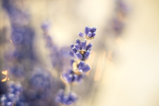 Closeup photo of beautiful gentle lavender flower field