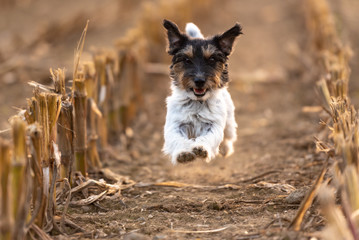 Dog running over harvested corn field in autumn. jack russell terrier 3 years old