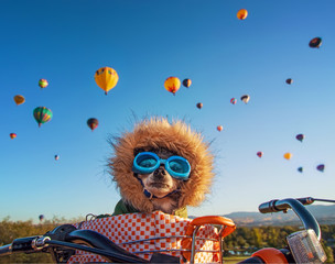 cute chihuahua with goggles on in a bicycle basket at a hot air balloon festival