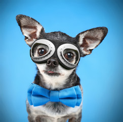 cute chihuahua with a bow tie and steam punk goggles on isolated on a blue background