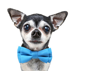 super wide angle fish eye of a cute chihuahua with a bow tie on isolated on a white background