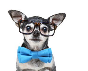 cute chihuahua with a bow tie and reading glasses on isolated on a white background
