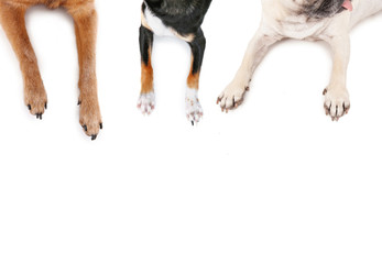top view of a pug and chihuahuas sprawled out on an isolated white background