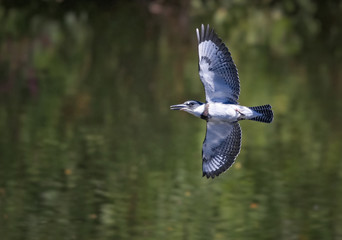 belted kingfisher flying over water searching for a fish
