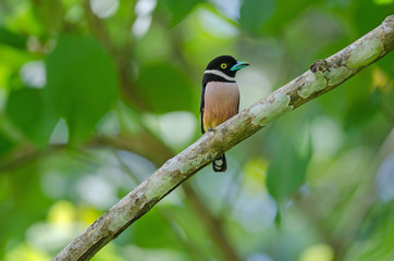 Black and Yellow broadbills perches on a brunch