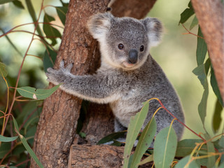 Koala joey hugs a tree branch