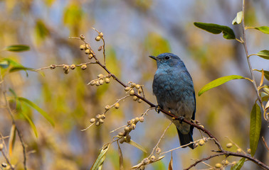 Mountain Bluebird Fledgling in a Russian Olive Tree