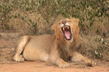 Lion. Wild male African Lion
