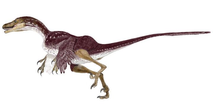 恐竜 バンビラプトル。白亜紀後期の地層から発見されたドロマエオサウルス科の小型爬虫類。2000年に発表され、脳函が大きく、その時点で最も鳥類に近い新種と認定された。温血動物でああり、体温を保持するために全身に羽毛を持っていたと考えられている。発見時の個体は幼体であったため、ディズニー映画の「バンビ」にちなんだ学名が付いた。イラスト画像。