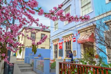 Cherry blossom in Valparaiso, Chile