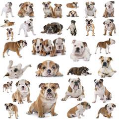 group of english bulldogs