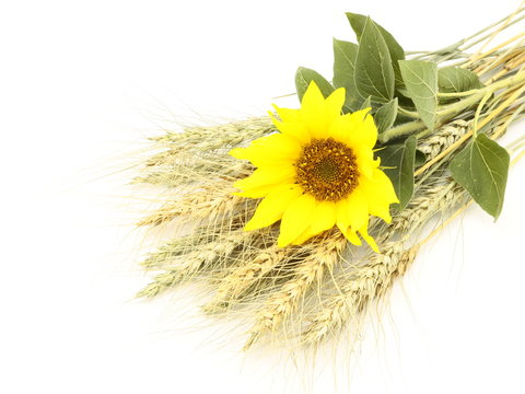 Sunflower on the ears of wheat on a white background.