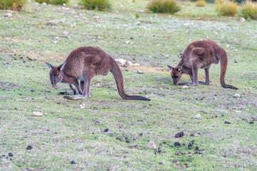 Foto op Aluminium Kangoeroe Couple of Kangaroos eating in open South Australia countryside