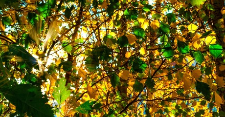 Yellow And GreenLeaves Lit By The Sun Rays. Colorful Background. Autumn Golden Foliage.