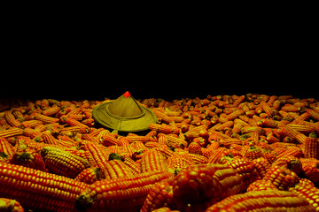 Sun hat White corn planted on corn, yield of corn farmers.