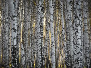 Sunset through autumn birch forest. Texture of birch trunks, solid forest.
