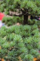Thorny bonsai close-up