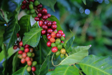 Arabica coffee berry ripe on coffee tree hard bean of the north of Thailand. Closeup ripe coffee for harvest on tree.