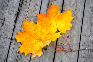 Yellow autumn maple leaves on wood background