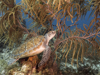 Green Sea Turtle swim at the coral reef in the Caribbean Sea at scuba dive around Curacao /Netherlands Antilles