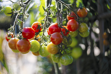 Close-up of a cherry tomato plant with ripe and unripe fruits