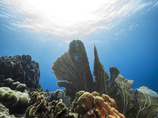 Seascape of coral reef in the Caribbean Sea around Curacao at dive site Barracuda Point with various coral, sea fan and view to surface