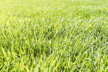 Field with green fresh grass, view from perspective, close-up