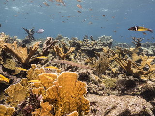 Seascape of coral reef in the Caribbean Sea around Curacao at dive site Barracuda Point with various corals and sponges