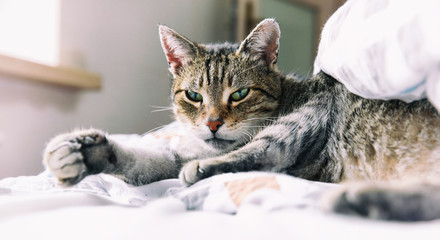 Portrait of tabby cat relaxing on bed