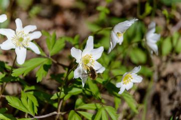 bee on white windflower Anemone nemorosa