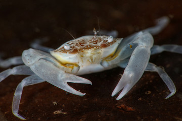 White tiny crab. Picture was taken in Lembeh strait, Indonesia