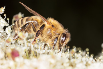 A bee collects honey on a flower