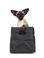 Excellent seal point Siamese cat kitten sitting sitting in black paper bag with one paw over edge looking at camera with deep blue eyes, isolated on white background