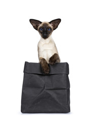 Excellent seal point Siamese cat kitten sitting sitting in black paper bag with two paws over edge looking at camera with deep blue eyes, isolated on white background