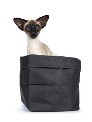 Excellent seal point Siamese cat kitten sitting sitting side ways in black paper bag looking at camera with deep blue eyes, isolated on white background