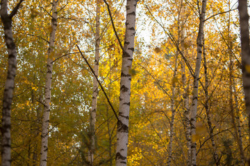 Birches in the forest in autumn as a background