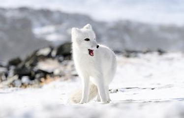 Arctic fox cub (Vulpes lagopus) in autumn snow in Dovre mountains, Norway