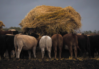 cattle feeding at the trough, agricultural scene in the country