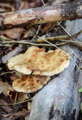 Herbstzeit, Pilzzeit, Pilze zwischen Blätter