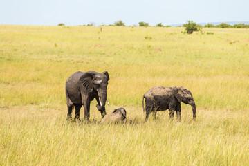 Elephants with calf on the African savannah
