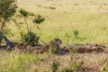 Lion flock resting in the shade on the savanna
