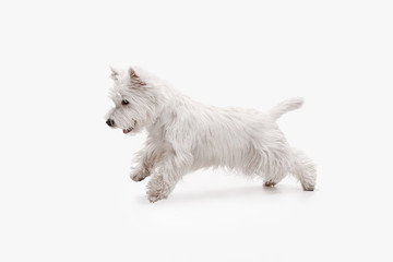 The west highland terrier dog in front of white studio background