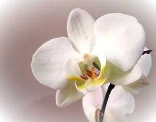 Delicate white orchid closeup.