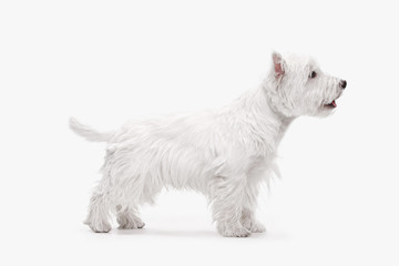 The west highland terrier dog in front of white studio background Wall mural