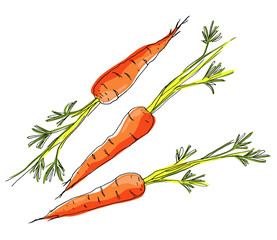 Sketch carrots on white background.
